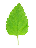 Lemon balm leaf Stock Photos
