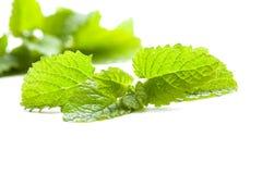 Lemon balm leaf on white background, Stock Images