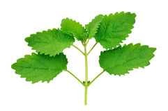 Lemon balm leaves Royalty Free Stock Photos