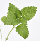 Lemon Balm Leaves Royalty Free Stock Image