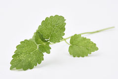 Lemon Balm Leaves Stock Photography
