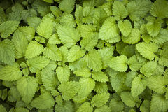 Lemon balm leaves Royalty Free Stock Photography