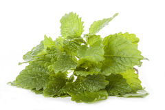 Lemon balm. Leaves of a lemon balm on isolated white background royalty free stock photography