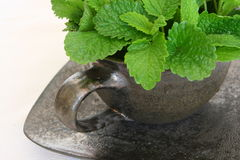 Lemon balm - Melissa officinalis Royalty Free Stock Photo