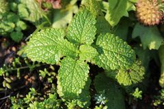 Lemon balm or Melissa officinalis or Common balm or Balm mint perennial herbaceous plant with thick green leathery leaves. Growing in local garden royalty free stock photography
