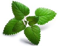 Mint balm Melissa officinalis, paths Royalty Free Stock Image
