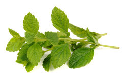 Lemon Balm (Melissa Officinalis) Isolated on White Background Royalty Free Stock Image