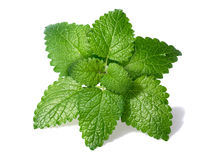 Lemon balm (Melissa officinalis). Leaves with few droplets. Clipping paths for both leaves and shadow, large depth of field royalty free stock photography
