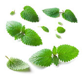 Lemon balm (Melissa officinalis) leaves isolated on white  background. Lemon balm (Melissa officinalis) leaves collection close-up isolated on white  background Royalty Free Stock Photography
