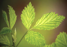 Lemon balm (Melissa officinalis). Young Melissa leaf close up Royalty Free Stock Image
