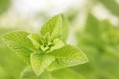 Lemon or Balm Mint Closeup Stock Images