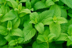 Lemon Balm Plant Royalty Free Stock Photography