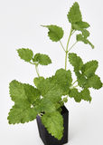 Lemon Balm Plant Stock Photo