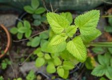 Lemon balm plant melissa officinalis stock photo