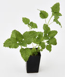 Lemon Balm Plant Stock Image