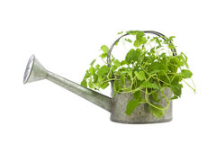 Lemon balm plant in watering can Stock Photography