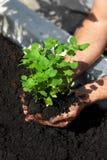 Lemon balm planting Stock Photography
