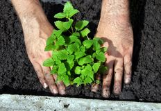 Lemon balm planting Stock Images