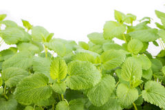 Lemon balm plants Stock Photography