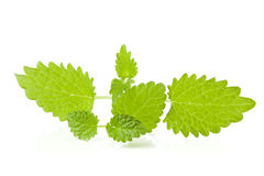 Lemon balm sprigs on white background Stock Image