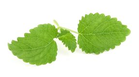 Lemon balm on white royalty free stock photography