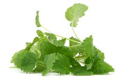 Lemon balm on white background Stock Image