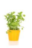 lemon balsam Obrazy Stock