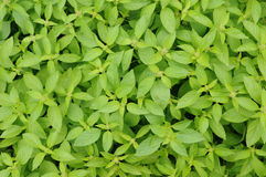 Lemon basil Stock Image