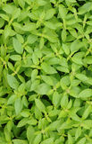 Lemon basil Stock Image
