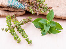 Lemon basil flower and seed with leafs prepair to planting next Royalty Free Stock Images
