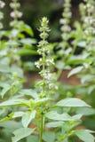 Lemon Basil Flowers. Nature background Royalty Free Stock Images