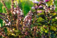 Lemon basil Hoary basil Hairy basil tree and seeds. Close up. Lemon basil Hoary basil Hairy basil tree and seeds royalty free stock photography