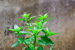 Lemon basil with luscious green leaves.  royalty free stock images