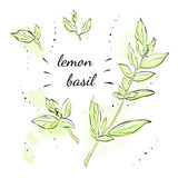 Lemon Basil Royalty Free Stock Photography