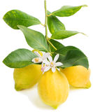 Lemon and blossom Royalty Free Stock Photography