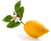 Lemon with blossom. Stock Image