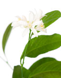 Lemon blossom Stock Images