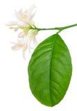 Lemon blossom Stock Photo