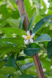 Lemon blossom on tree Royalty Free Stock Images