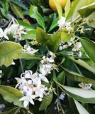 Lemon blossom, from white to green royalty free stock photo