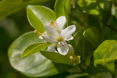 Lemon Blossoms Stock Photography