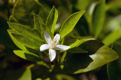 Lemon Blossoms Royalty Free Stock Photography