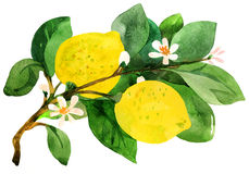 Lemon branch. Water color painting Royalty Free Stock Photo