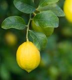 Lemon on a branch Stock Photography