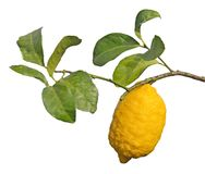 Lemon on branch Royalty Free Stock Images