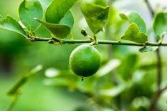 Lemon on branch Stock Photos