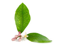 Lemon branch, flower, buds, leaves. 