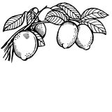 Lemon branch Royalty Free Stock Image