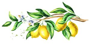 Lemon branch with fruit and leaves. Watercolor hand drawn horizontal illustration. Lemon branch with fruit and leaves. Watercolor hand drawn horizontal royalty free illustration