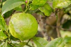 Lemon. Branch with a lemon, horizontal photo Stock Image